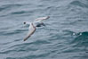 Prion in flight. Scotia Sea, Southern Ocean. Image #24708