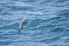 Prion in flight. Scotia Sea, Southern Ocean. Image #24709