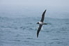 Gray-headed albatross, in flight. Scotia Sea, Southern Ocean. Image #24728