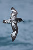 Pintado petrel in flight. Scotia Sea, Southern Ocean. Image #24730