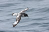 Pintado petrel in flight. Scotia Sea, Southern Ocean. Image #24731