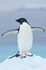 Adelie penguin on an iceberg. Brown Bluff, Antarctic Peninsula, Antarctica. Image #25006
