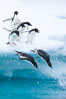 Adelie penguins leaping into the ocean from an iceberg. Brown Bluff, Antarctic Peninsula, Antarctica. Image #25011