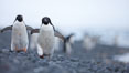 Adelie penguins walking on a stone beach. Brown Bluff, Antarctic Peninsula, Antarctica. Image #25012