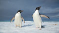 Two Adelie penguins, holding their wings out, standing on an iceberg. Paulet Island, Antarctic Peninsula, Antarctica. Image #25014