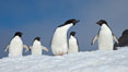 A group of Adelie penguins, on packed snow. Paulet Island, Antarctic Peninsula, Antarctica