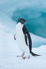 Adelie penguin on an iceberg. Brown Bluff, Antarctic Peninsula, Antarctica