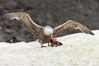 Southern giant petrel kills and eats an Adelie penguin chick, Shingle Cove. Coronation Island, South Orkney Islands, Southern Ocean