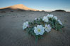 Eureka Valley Dune Evening Primrose.  A federally endangered plant, Oenothera californica eurekensis is a perennial herb that produces white flowers from April to June. These flowers turn red as they age. The Eureka Dunes evening-primrose is found only in the southern portion of Eureka Valley Sand Dunes system in Indigo County, California. Death Valley National Park, USA. Image #25343