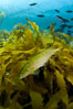 A giant kelpfish swims over Southern sea palms and a kelp-covered reef, mimicing the color and pattern of the kelp leaves perfectly, camoflage. San Clemente Island, California, USA. Image #25414