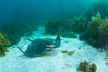 California bat ray, laying on sandy ocean bottom amid kelp and rocky reef. San Clemente Island, USA. Image #25437