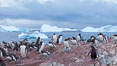 Gentoo penguin colony, Cuverville Island. Cuverville Island, Antarctic Peninsula, Antarctica. Image #25533