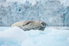 Weddell seal in Antarctica.  The Weddell seal reaches sizes of 3m and 600 kg, and feeds on a variety of fish, krill, squid, cephalopods, crustaceans and penguins. Cierva Cove, Antarctic Peninsula. Image #25569