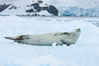 A crabeater seal, hauled out on pack ice to rest.  Crabeater seals reach 2m and 200kg in size, with females being slightly larger than males.  Crabeaters are the most abundant species of seal in the world, with as many as 75 million individuals.  Despite its name, 80% the crabeater seal's diet consists of Antarctic krill.  They have specially adapted teeth to strain the small krill from the water. Cierva Cove, Antarctic Peninsula, Antarctica. Image #25576
