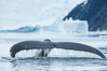 Humpback whale in Antarctica.  A humpback whale swims through the beautiful ice-filled waters of Neko Harbor, Antarctic Peninsula, Antarctica. Image #25646