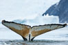 Southern humpback whale in Antarctica, with significant diatomaceous growth (brown) on the underside of its fluke, lifting its fluke before diving in Neko Harbor, Antarctica. Antarctic Peninsula. Image #25647