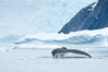 Humpback whale in Antarctica.  A humpback whale swims through the beautiful ice-filled waters of Neko Harbor, Antarctic Peninsula, Antarctica. Image #25652