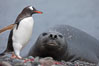Southern elephant seal watches gentoo penguin. Livingston Island, Antarctic Peninsula, Antarctica. Image #25915