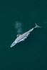 Blue whale, exhaling as it surfaces from a dive, aerial photo.  The blue whale is the largest animal ever to have lived on Earth, exceeding 100' in length and 200 tons in weight. Redondo Beach, California, USA. Image #25956
