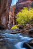 Yellow cottonwood trees in autumn, fall colors in the Virgin River Narrows in Zion National Park. Utah, USA. Image #26091