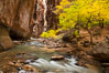 The Virgin River flows by autumn cottonwood trees, part of the Virgin River Narrows.  This is a fantastic hike in fall with the comfortable temperatures, beautiful fall colors and light crowds. Zion National Park, Utah, USA. Image #26098