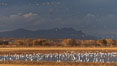 Snow geese and sandhill cranes. Bosque Del Apache, Socorro, New Mexico, USA. Image #26205