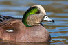 American wigeon, male. Socorro, New Mexico, USA. Image #26214