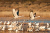Snow geese and sandhill cranes. Bosque Del Apache, Socorro, New Mexico, USA. Image #26221
