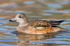 American wigeon, female. Socorro, New Mexico, USA. Image #26258