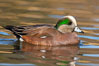 American wigeon, male. Socorro, New Mexico, USA. Image #26261