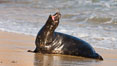 Pacific harbor seal, an sand at the edge of the sea. La Jolla, California, USA. Image #26316
