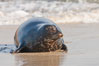 Pacific harbor seal, an sand at the edge of the sea. La Jolla, California, USA. Image #26317