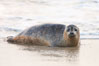 Pacific harbor seal, an sand at the edge of the sea. La Jolla, California, USA. Image #26318