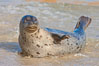 Pacific harbor seal, an sand at the edge of the sea. La Jolla, California, USA. Image #26320