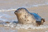 Pacific harbor seal, an sand at the edge of the sea. La Jolla, California, USA. Image #26321