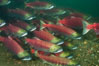 A school of sockeye salmon, swimming up the Adams River to spawn, where they will lay eggs and die. Roderick Haig-Brown Provincial Park, British Columbia, Canada