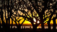 Sunset and Coral trees, San Diego Embarcadero Marina Park. California, USA. Image #26564
