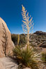 Parry's Nolina, or Giant Nolina, a flowering plant native to southern California and Arizona founds in deserts and mountains to 6200'. It can reach 6' in height with its flowering inflorescence reaching 12'. Joshua Tree National Park, California, USA. Image #26725