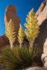 Parry's Nolina, or Giant Nolina, a flowering plant native to southern California and Arizona founds in deserts and mountains to 6200'. It can reach 6' in height with its flowering inflorescence reaching 12'. Joshua Tree National Park, USA. Image #26736