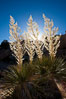 Parry's Nolina, or Giant Nolina, a flowering plant native to southern California and Arizona founds in deserts and mountains to 6200'. It can reach 6' in height with its flowering inflorescence reaching 12'. Joshua Tree National Park, USA. Image #26754