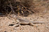Desert iguana, one of the most common lizards of the Sonoran and Mojave deserts of the southwestern United States and northwestern Mexico. Joshua Tree National Park, California, USA. Image #26755