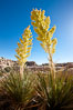 Parry's Nolina, or Giant Nolina, a flowering plant native to southern California and Arizona founds in deserts and mountains to 6200'. It can reach 6' in height with its flowering inflorescence reaching 12'. Joshua Tree National Park, USA. Image #26759