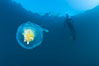 Fried-egg jellyfish, drifting through the open ocean. San Diego, California, USA. Image #26846