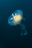 Fried-egg jellyfish, drifting through the open ocean. San Diego, California, USA. Image #26847