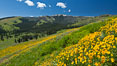 Wildflowers on Mount Washburn, on the north side of Dunraven Pass near Tower Junction. Yellowstone National Park, Wyoming, USA. Image #26941
