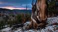 Sunset over Patriarch Grove and White Mountains.  An ancient bristlecone pine tree at sunset. White Mountains, Inyo National Forest, California, USA. Image #26981