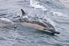 Common dolphin at the edge of the ocean. Santa Barbara, California, USA. Image #27017