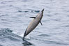 Common dolphin leaping from the ocean. Santa Barbara, California, USA. Image #27018