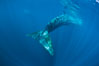 Fin whale underwater.  The fin whale is the second longest and sixth most massive animal ever, reaching lengths of 88 feet. La Jolla, California, USA