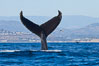 A humpback whale raises it fluke out of the water, the coast of Del Mar and La Jolla is visible in the distance. California, USA